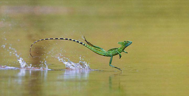 basilisk lizard skipping across the water