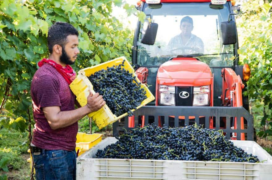 employee behind wheel of vehicle and another employee pours grapes into large bin